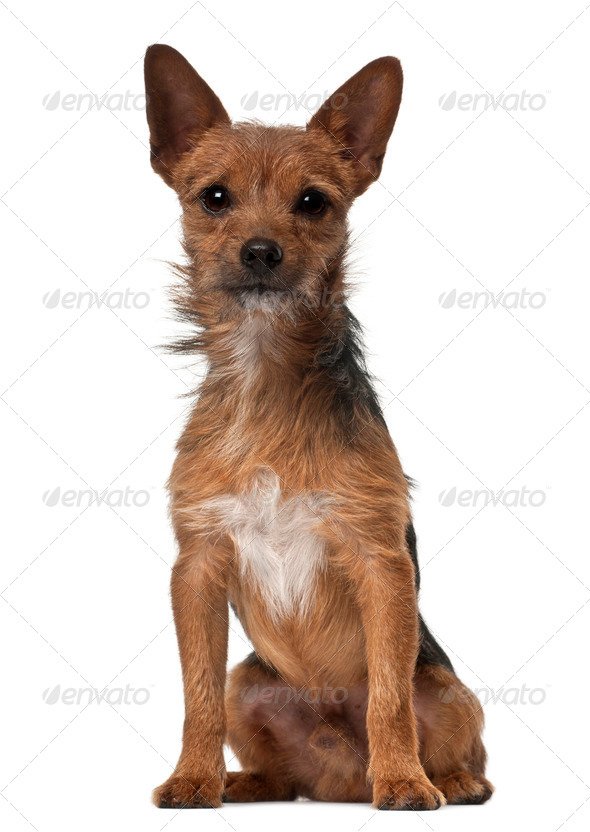 Crossbreed dog, 1 year old, sitting in front of white background - Stock Photo - Images