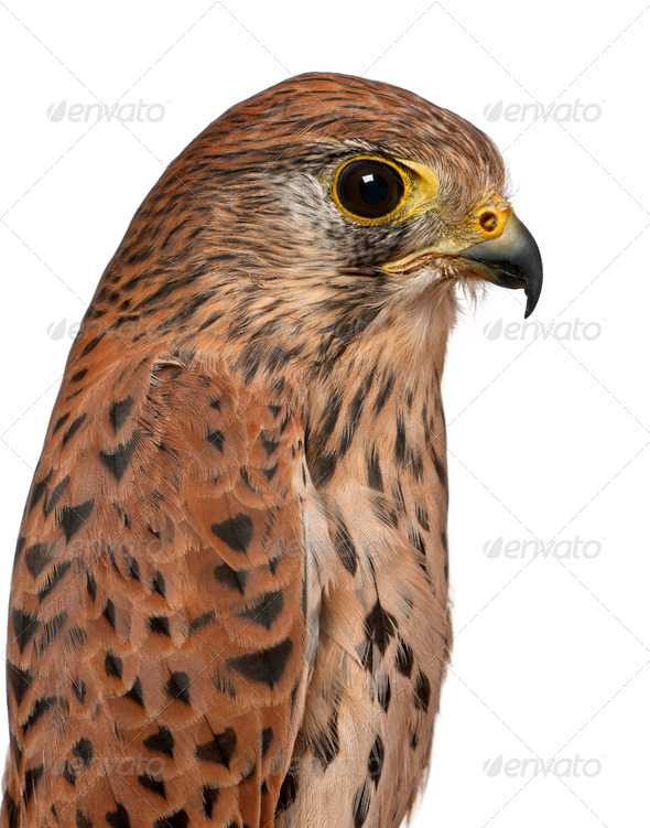 Close up of Common Kestrel, Falco tinnunculus, a bird of prey in front of white background - Stock Photo - Images