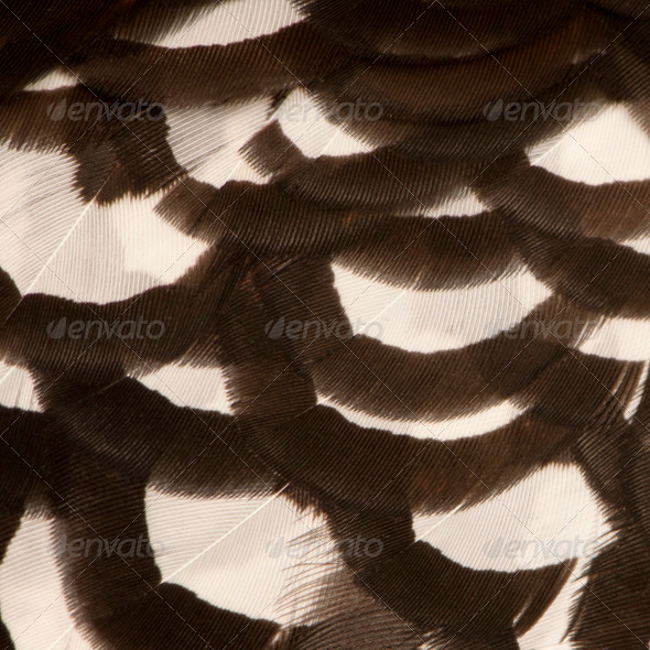 Close up of Male Reeves's Pheasant, Syrmaticus reevesii, feathers - Stock Photo - Images