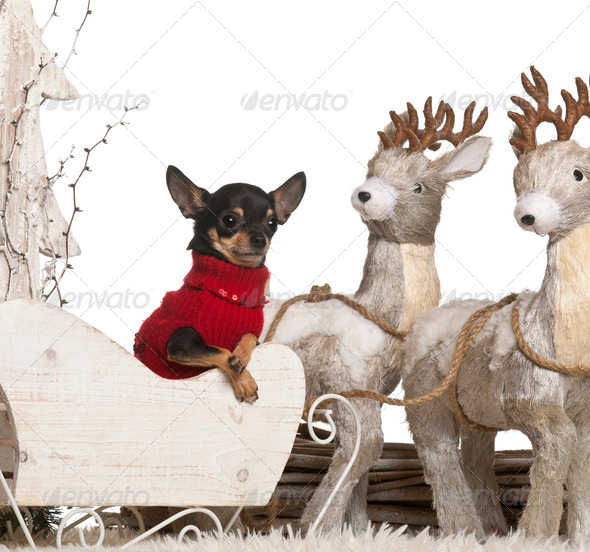 Chihuahua, 2 years old, in Christmas sleigh in front of white background - Stock Photo - Images
