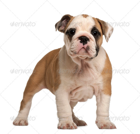 English Bulldog puppy, standing, 2 months old - Stock Photo - Images