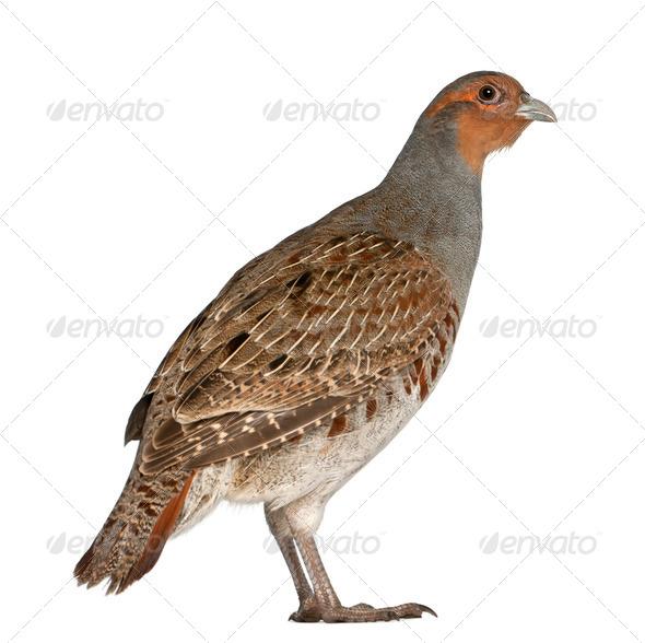 Portrait of Grey Partridge, Perdix perdix - Stock Photo - Images