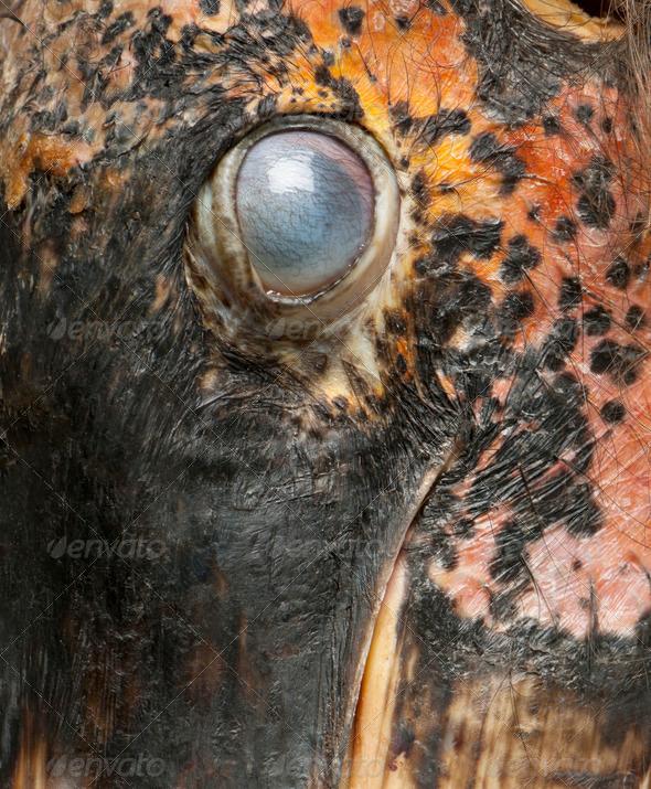 Close up of Marabou Stork, Leptoptilos crumeniferus, 1 year old - Stock Photo - Images