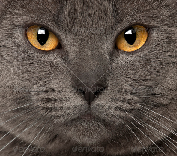 Portrait of Chartreux, 1 and a half years old - Stock Photo - Images