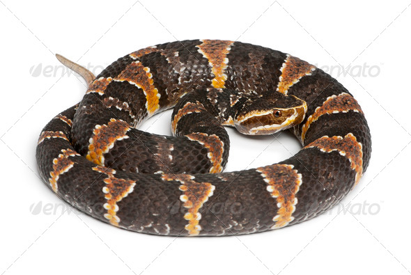 common cantil or Mexican moccasin - Agkistrodon bilineatus taylori, poisonous, white background - Stock Photo - Images
