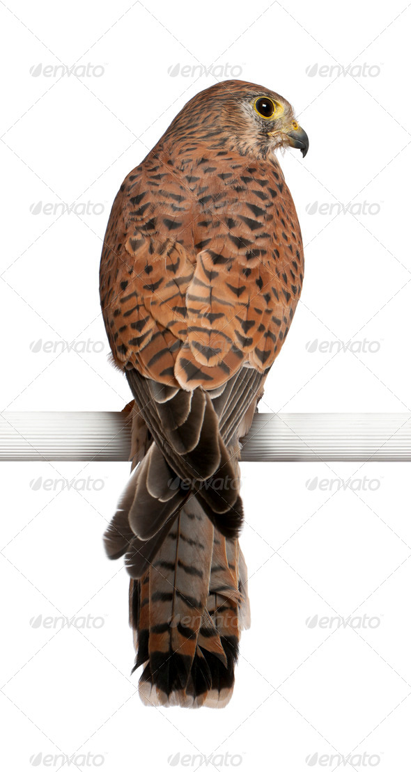 Common Kestrel, Falco tinnunculus, a bird of prey, perching in front of white background - Stock Photo - Images