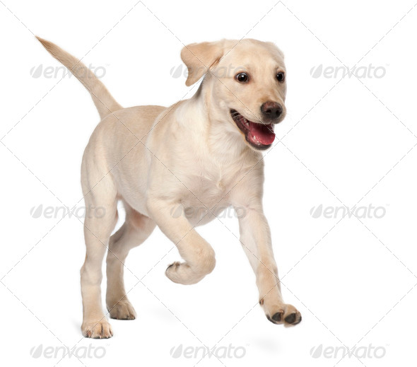 Young Labrador Retriever, 4 months old - Stock Photo - Images