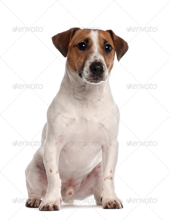 Portrait of Jack Russell Terrier, 1 year old, sitting in front of white background - Stock Photo - Images