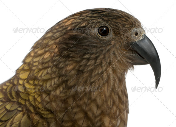 Portrait of Kea, Nestor notabilis, a parrot in front of white background - Stock Photo - Images