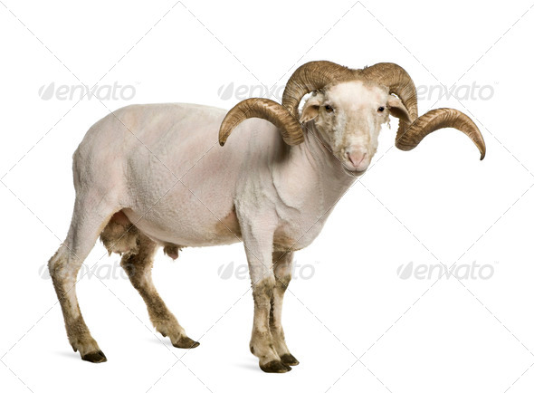 Portrait of shaved Arles Merino ram, 1 year old, in front of white background - Stock Photo - Images