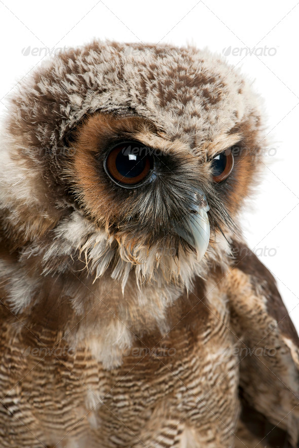 Close up of Brown Wood Owl, Strix leptogrammica, in front of white background, six months old - Stock Photo - Images