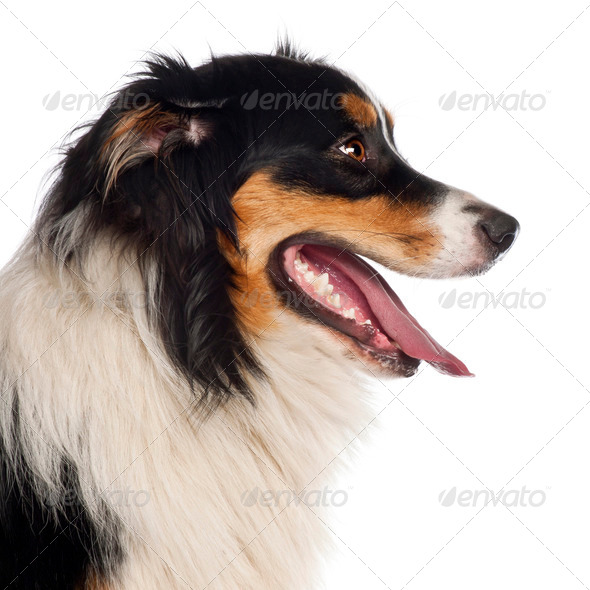 Close up of Australian Shepherd, 1 year old, in front of white background - Stock Photo - Images
