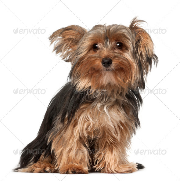Yorkshire Terrier, 8 months old, sitting in front of white background - Stock Photo - Images