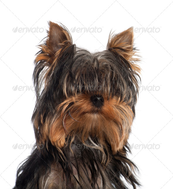 Portrait of Yorkshire Terrier puppy, 5 months old, in front of white background - Stock Photo - Images