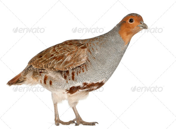 Portrait of Grey Partridge, Perdix perdix, also known as the English Partridge, Hungarian Partridge - Stock Photo - Images