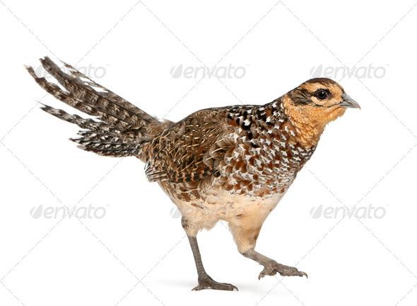 Female Reeves's Pheasant, Syrmaticus reevesii - Stock Photo - Images