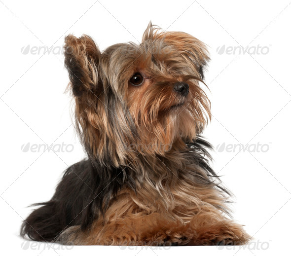Yorkshire Terrier, 8 months old, lying in front of white background - Stock Photo - Images