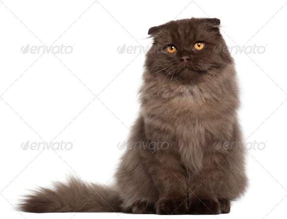 Portrait of Scottish Fold cat, 5 months old, sitting in front of white background - Stock Photo - Images
