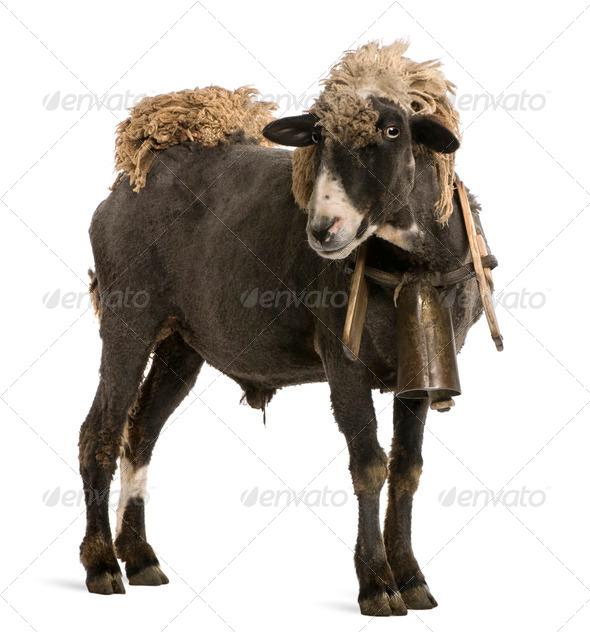 Crossbreed sheep wearing bell in front of white background - Stock Photo - Images