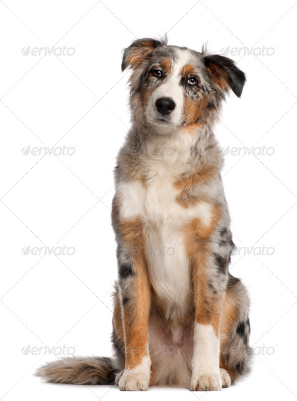 Portrait of Australian Shepherd, 5 and a half months old, sitting in front of white background - Stock Photo - Images