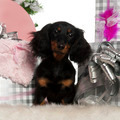 Dachshund puppy, 4 months old, with Christmas tree and gifts in front of white background