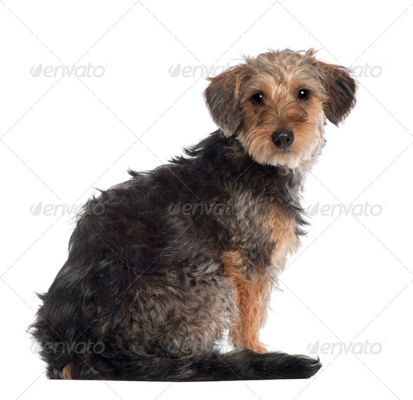 Portrait of Dachshund, 10 months old, in front of white background - Stock Photo - Images