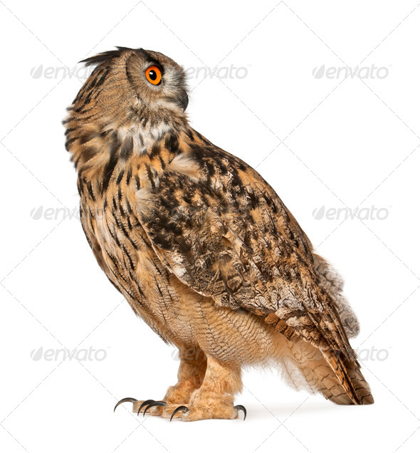 Eurasian Eagle-Owl, Bubo bubo, a species of eagle owl, standing in front of white background - Stock Photo - Images