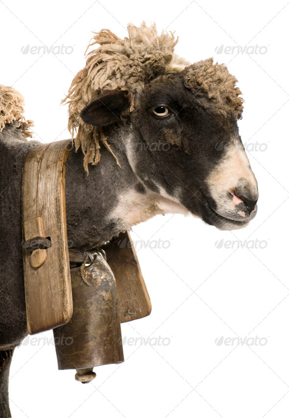 Side view close-up of crossbreed sheep wearing bell in front of white background - Stock Photo - Images