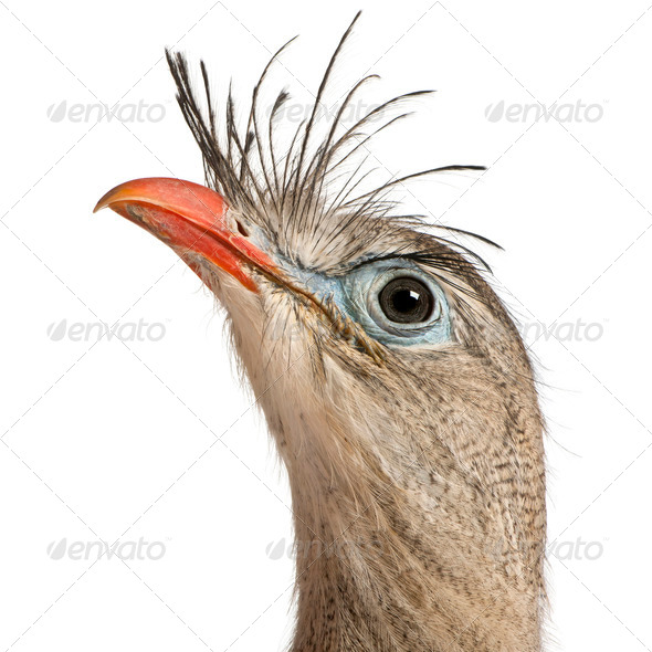 Close up of Red-legged Seriema or Crested Cariama, Cariama cristata, in front of white background - Stock Photo - Images