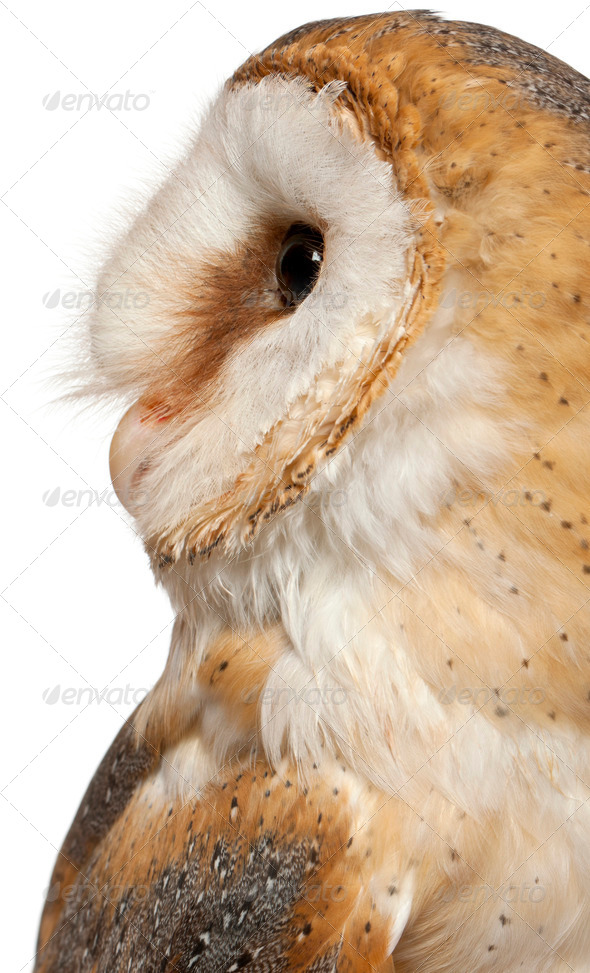 Close up of Barn Owl, Tyto alba, in front of white background - Stock Photo - Images