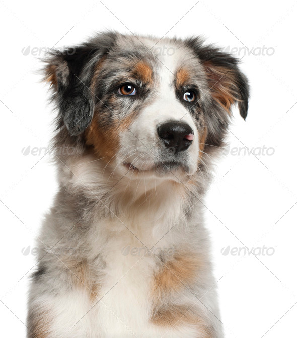 Close up of Australian Shepherd, 5 months old, in front of white background - Stock Photo - Images