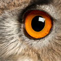 Close up of Eurasian Eagle-Owl, Bubo bubo, a species of eagle owl in front of white background - PhotoDune Item for Sale