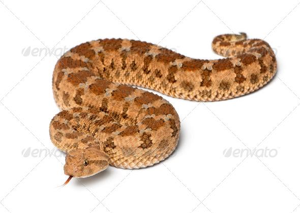 Saharan horned viper - Cerastes cerastes, poisonous, white background - Stock Photo - Images
