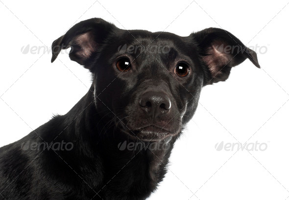 Portrait of Mixed-breed dog, 18 months old, in front of white background - Stock Photo - Images
