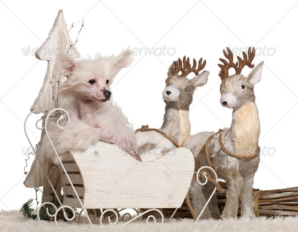 Chinese Crested Dog puppy, 4 months old, in Christmas sleigh in front of white background - Stock Photo - Images