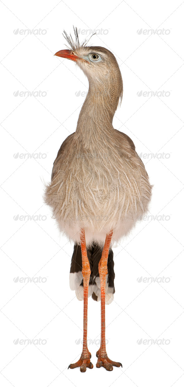 Red-legged Seriema or Crested Cariama, Cariama cristata, standing in front of white background - Stock Photo - Images