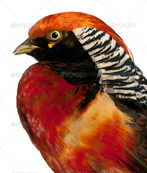Close up of Male Golden Pheasant or 'Chinese Pheasant', Chrysolophus pictus - Stock Photo - Images