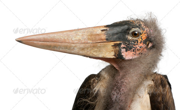 Marabou Stork, Leptoptilos crumeniferus, 1 year old, in front of white background - Stock Photo - Images