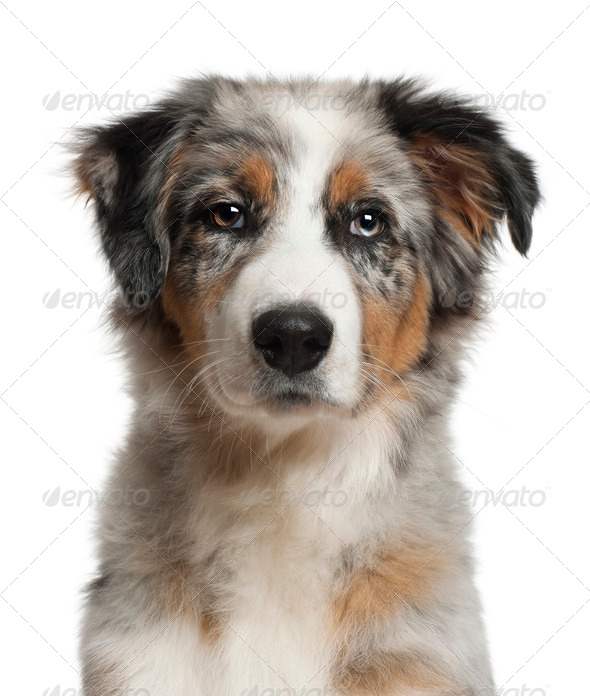 Portrait of Australian Shepherd, 5 months old, in front of white background - Stock Photo - Images