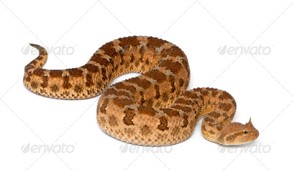 Saharan horned viper - Cerastes cerastes, poisonous, white background - Stock Photo - Images