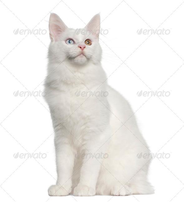 Maine Coon cat, 5 months old, sitting in front of white background - Stock Photo - Images
