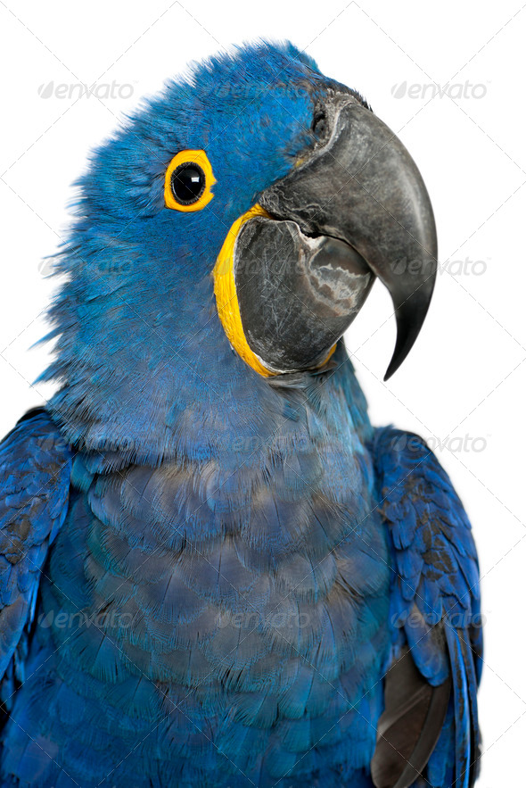 Portrait of Hyacinth Macaw, Anodorhynchus hyacinthinus in front of white background - Stock Photo - Images