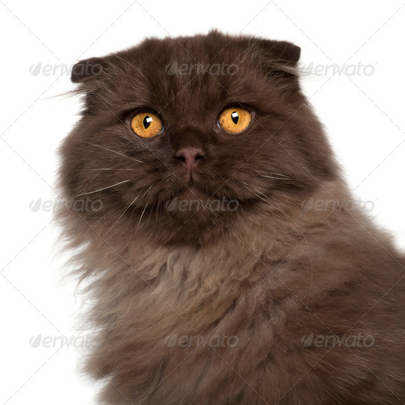 Portrait of Scottish Fold cat, 5 months old, in front of white background - Stock Photo - Images