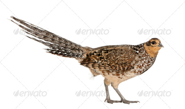 Portrait of Female Reeves's Pheasant, Syrmaticus reevesii, can grow up to 210 cm long - Stock Photo - Images