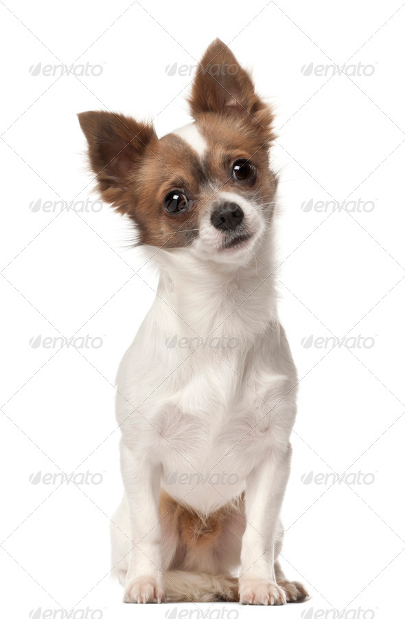 Chihuahua, 9 months old, sitting in front of white background - Stock Photo - Images