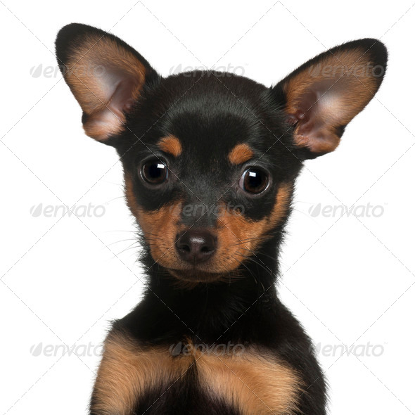 Chihuahua puppy, 2 months old, in front of white background - Stock Photo - Images