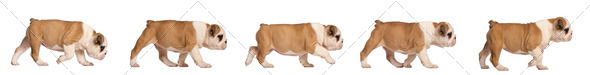 English Bulldog puppy tracking, 2 months old - Stock Photo - Images
