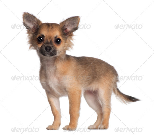 Portrait of Chihuahua, 3 and a half months old, standing in front of white background - Stock Photo - Images