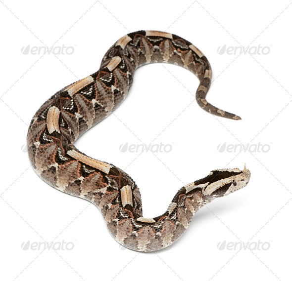 rhinoceros viper, river jack - Bitis nasicornis X gabonica, poisonous, white background - Stock Photo - Images