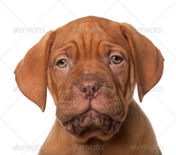 Dogue de Bordeaux puppy, 8 weeks old, in front of white background - Stock Photo - Images